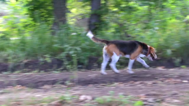 Dog Beagle walks in the woods Dog of the Beagle breed walks in the woods hound stock videos & royalty-free footage