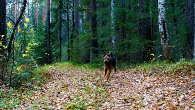 A dog breed Airedale Terrier runs along the path in the coniferous and birch forest.