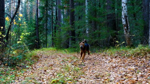 en hund ras airedale terrier går längs stigen i barr-och björk skogen. - hund skog bildbanksvideor och videomaterial från bakom kulisserna
