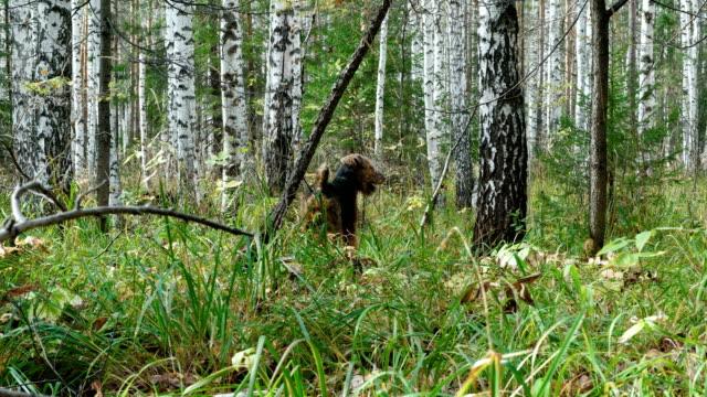 hund rasen airedale terrier går i skogen. - hund skog bildbanksvideor och videomaterial från bakom kulisserna