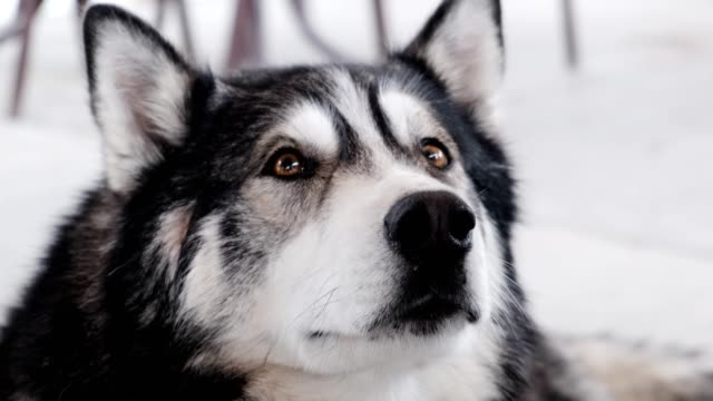 dog breed alaskan malamute at outdoor - malamute video stock e b–roll