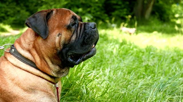 dog breed Bullmastiff outdoors