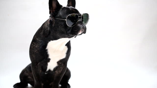 dog breed French Bulldog in glasses, sits and licks