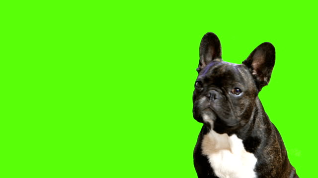 vídeos de stock, filmes e b-roll de sentado na cão raça buldogue francês e procurando - fundo verde