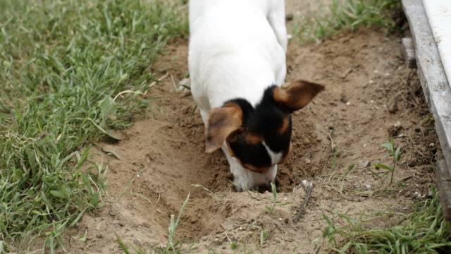 dog breed Jack Russell Terrier digging a hole video