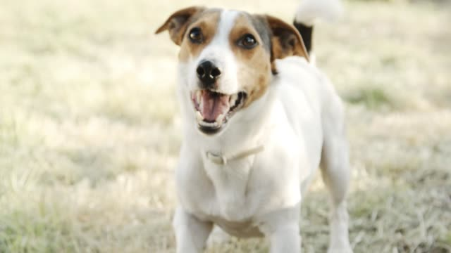 Dog breed Jack Russell Terrier, on whom the barks.