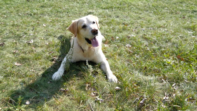 dog breed labrador or golden retriever lying on the green grass lawn. domestic animal follows the movement of the camera. nature at background. close up - cane addestrato video stock e b–roll