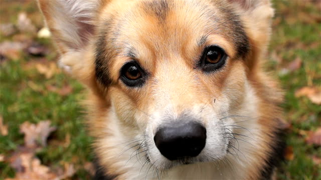 Dog breed Welsh Corgi Pembroke on a walk in a beautiful autumn forest. View from above. video