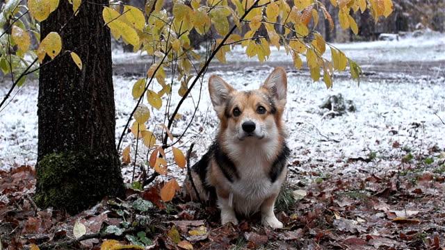 Dog breed Welsh Corgi Pembroke on a walk in a beautiful winter forest. video