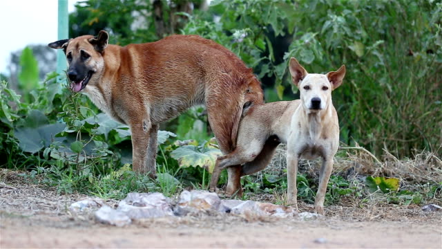 dog breeding Street Dog Copulates videos of dogs mating stock videos & royalty-free footage