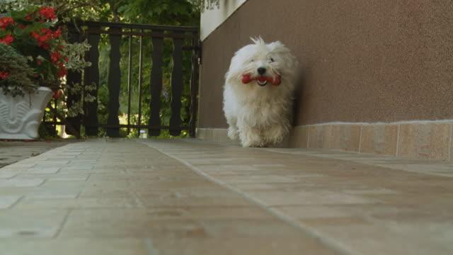 hd スローモーション: 犬のご同伴にトーイ骨 - ビションフリーゼ点の映像素材/bロール