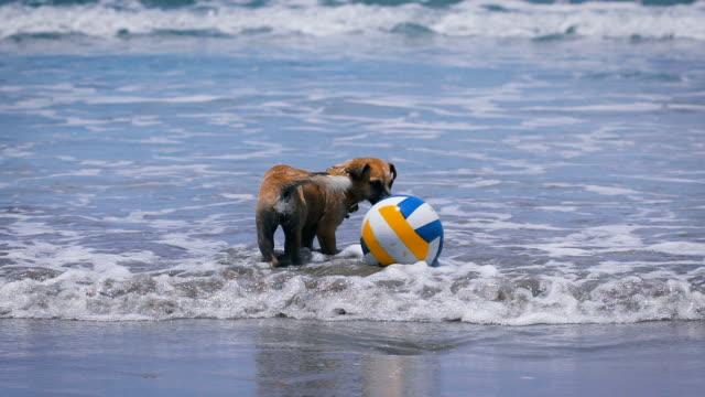 hund, die braune farbe des wassers. am strand im meer volleyball. tier ein halsband mit ihr zu spielen im wasser. wellen der zu- und abnehmen. das sonnige wetter - familienplanung stock-videos und b-roll-filmmaterial