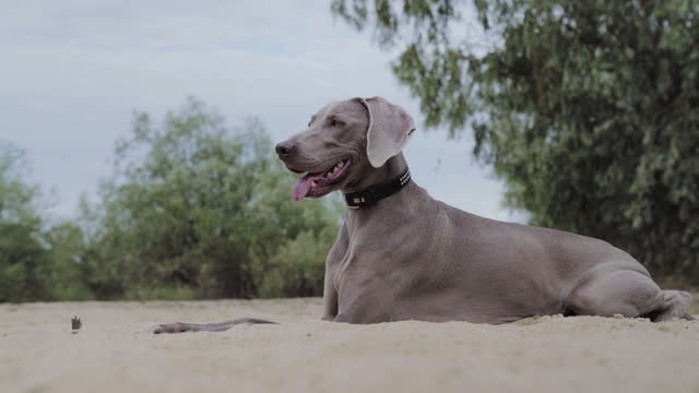 vídeos de stock e filmes b-roll de dog by the lake, digging a hole in sand. summer walk - margem do lago