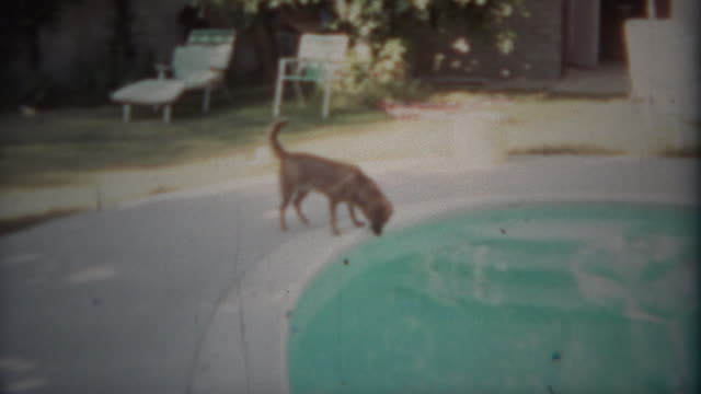 1963: Dog carefully drinking from swimming pool on hot summer day. video