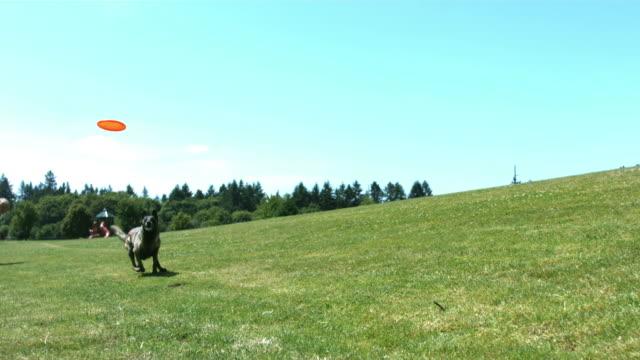 cane catture disco volante, rallentatore - acrobazia video stock e b–roll