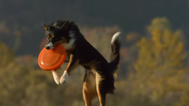 dog catching a disk - border collie video stock e b–roll