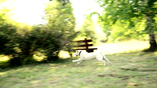 Dog chasing a stone video