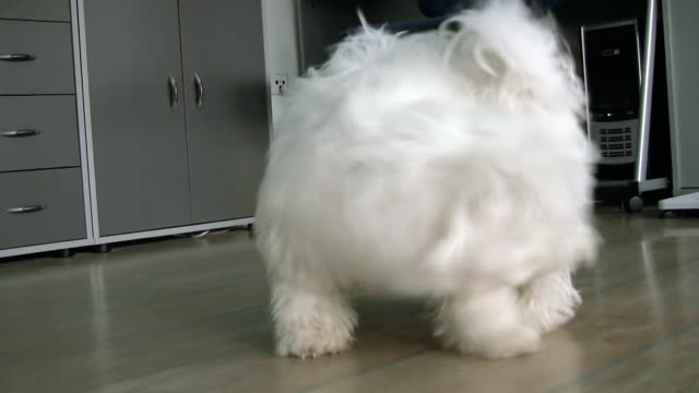 hd: cane rincorrere la propria coda - bichon frisé video stock e b–roll
