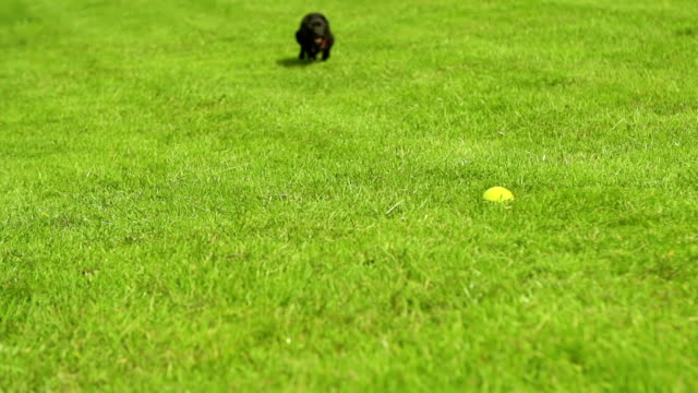 Dog chasing tennis ball video