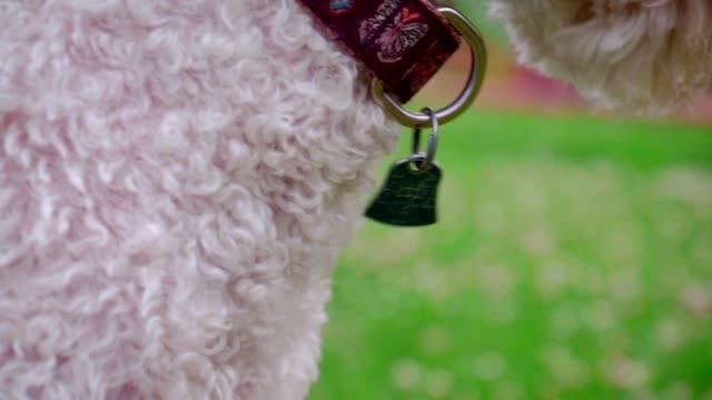 dog collar tag. close up of blue metal tag on dog collar. dog with collar - идентификация личности стоковые видео и кадры b-roll