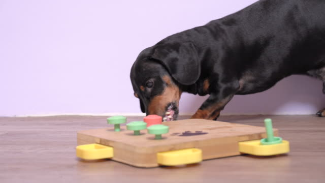 Dog dachshund dog, black and tan, during mentally stimulating activity with puzzle sniffing game. Solves the riddle and takes out snack. intellectual and nosework training