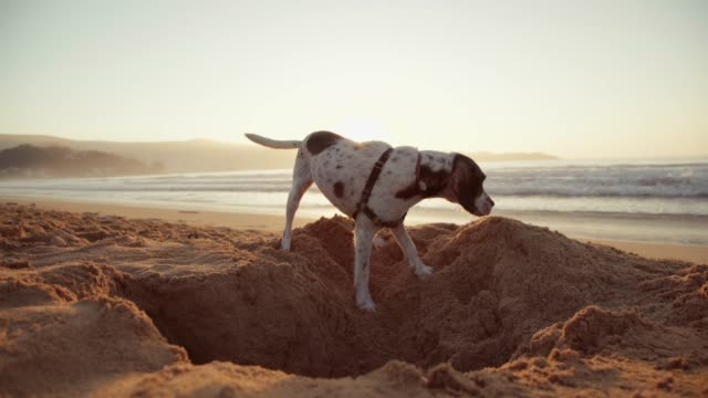 dog digging a hole in the sand - foro video stock e b–roll