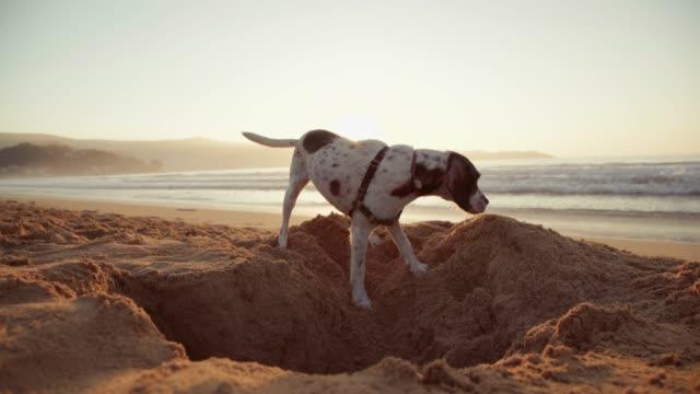 dog digging a hole in the sand - dziura filmów i materiałów b-roll