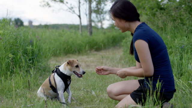 A Dog Doing Tricks for Treats A dog does tricks in exchange for treats and pats from his owner. jack russell terrier stock videos & royalty-free footage