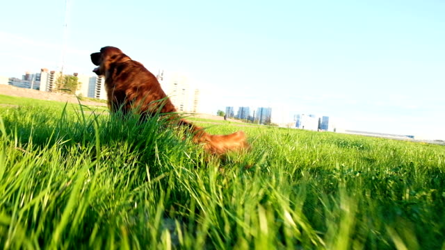 Dog drags its hind legs along the grass and it itches at sunset. Awkward funny pet walks in nature, slow motion Dog drags its hind legs along the grass and it itches at sunset. Awkward funny pet walks in nature, slow motion. irish setter stock videos & royalty-free footage