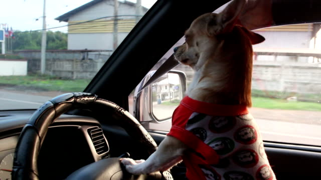 Video dog driving car