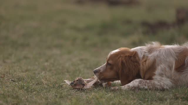 Dog eating fresh raw meaty bone in back yard