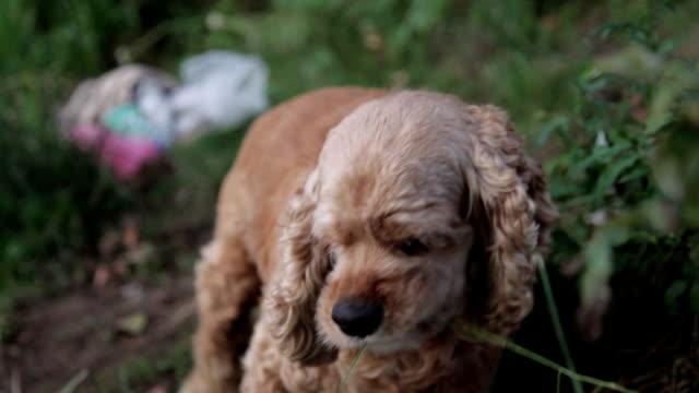 cane mangiare erba - cane addestrato video stock e b–roll