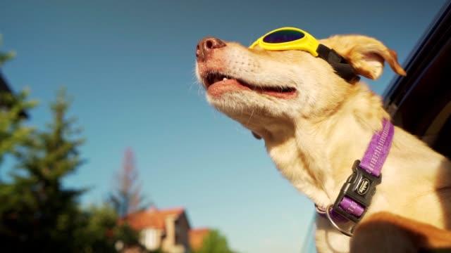 dog enjoying car ride - occhiali protettivi video stock e b–roll