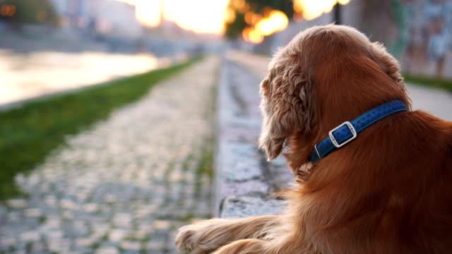 Dog enjoying sunset near the river video