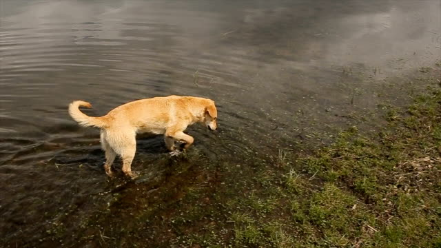 Dog explores the environment, walking in the lake video
