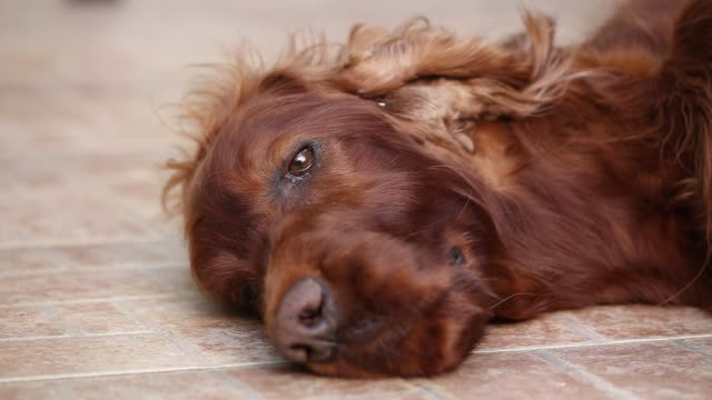 Dog face, head, eye closeup Dog face, head, eye closeup. Old lazy irish setter pet dog resting and looking on the floor. irish setter stock videos & royalty-free footage