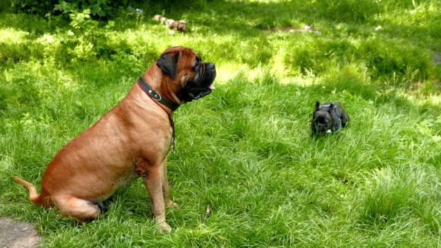 Dog French Bulldog and Bullmastiff playing outdoors
