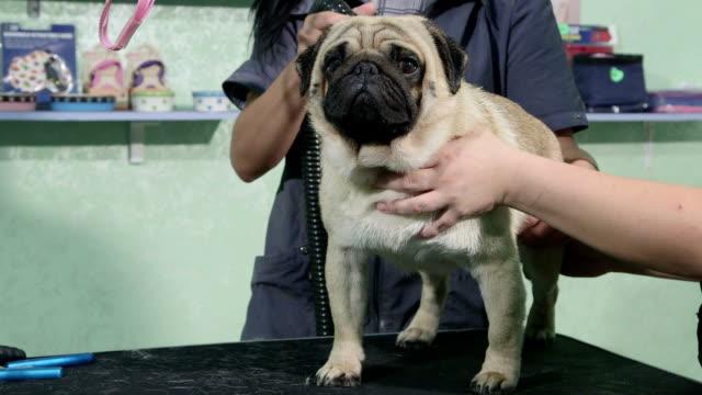Dog groomer drying pug at pet salon video