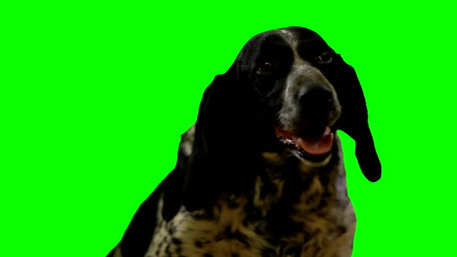 dog head on a green screen dog head on a green background setter dog stock videos & royalty-free footage