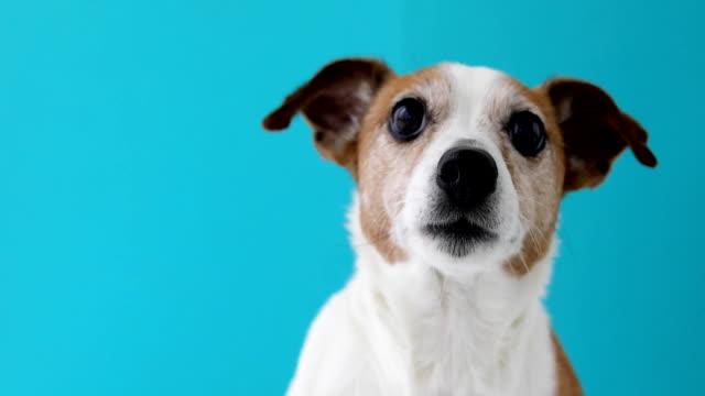 hund huvud på blå bakgrund - djurhuvud bildbanksvideor och videomaterial från bakom kulisserna