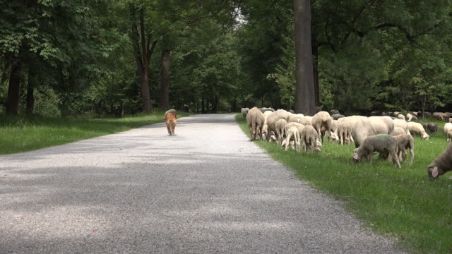 Dog herding sheep in green field