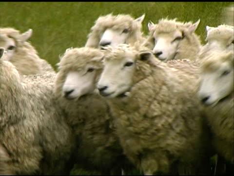 Dog Herds Sheep video