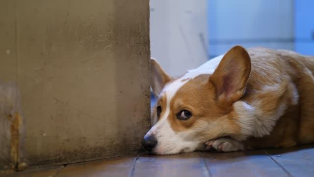 Dog hide after door, leaf open and reveal shy pet lying on wooden floor