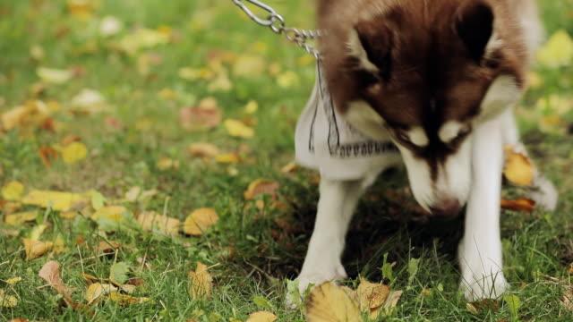 Dog husky digs a hole on a ground, slow motion video