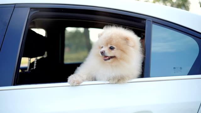 slo-mo - hund in einem auto mit seinen kopf aus dem fenster im wind - dog car stock-videos und b-roll-filmmaterial
