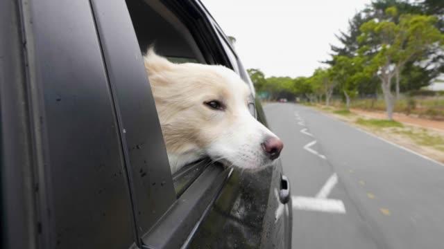hund in einem auto mit seinen kopf aus dem fenster im wind - dog car stock-videos und b-roll-filmmaterial