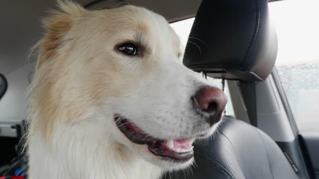 hund im heißen auto - dog car stock-videos und b-roll-filmmaterial
