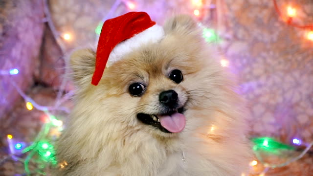 A dog in a New Year's dress. Pomeranian Spitz A dog in a New Year's dress. Pomeranian Spitz puppy stock videos & royalty-free footage