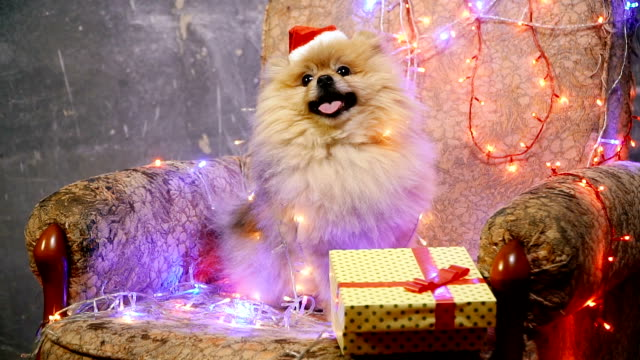 a dog in a new year's dress. pomeranian spitz - christmas background стоковые видео и кадры b-roll