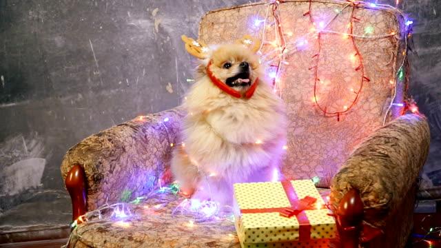 A dog in a New Year's dress. Pomeranian Spitz video